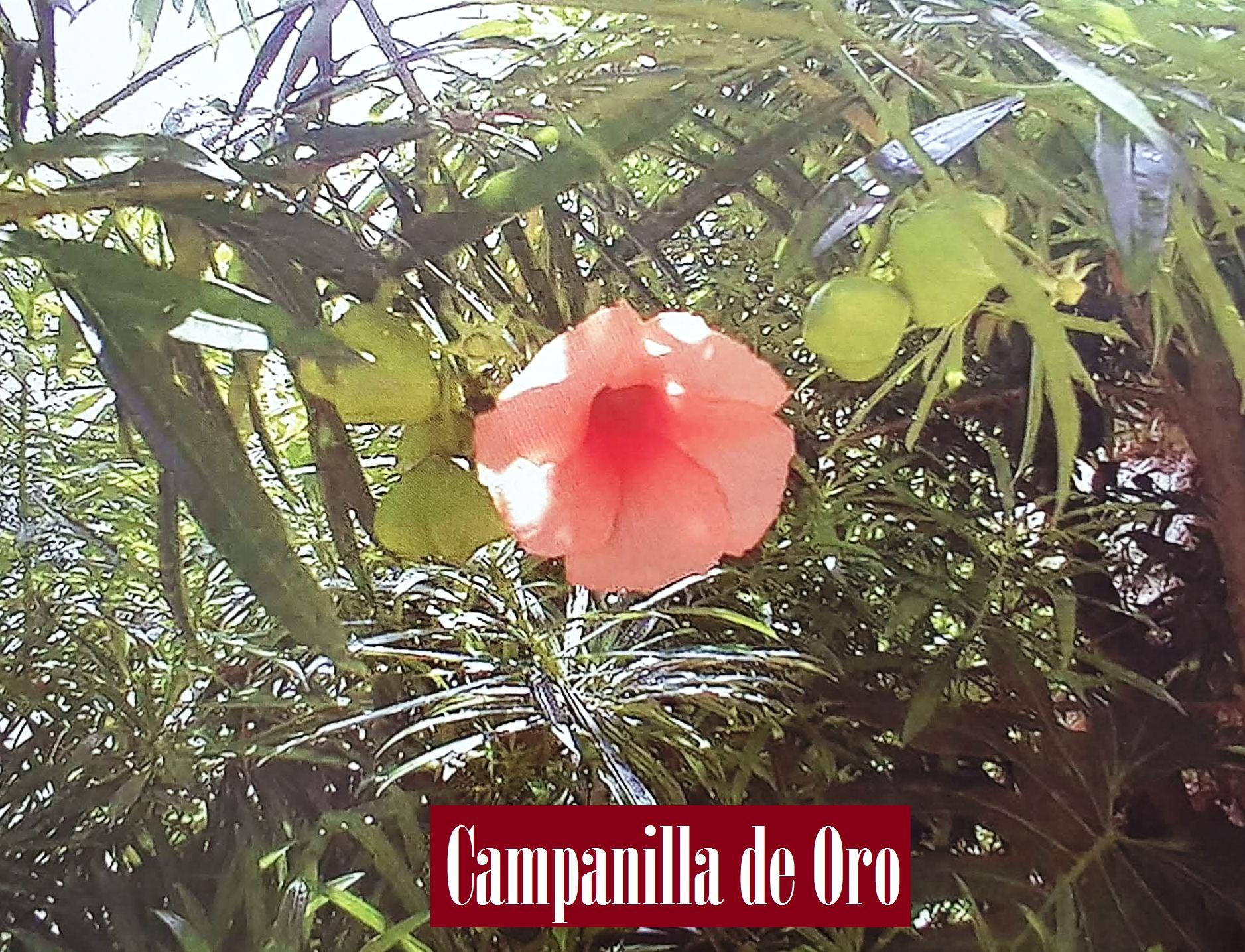 CAMPANILLA DE ORO, AJ KITS, KAAN LOOL (MAYA)