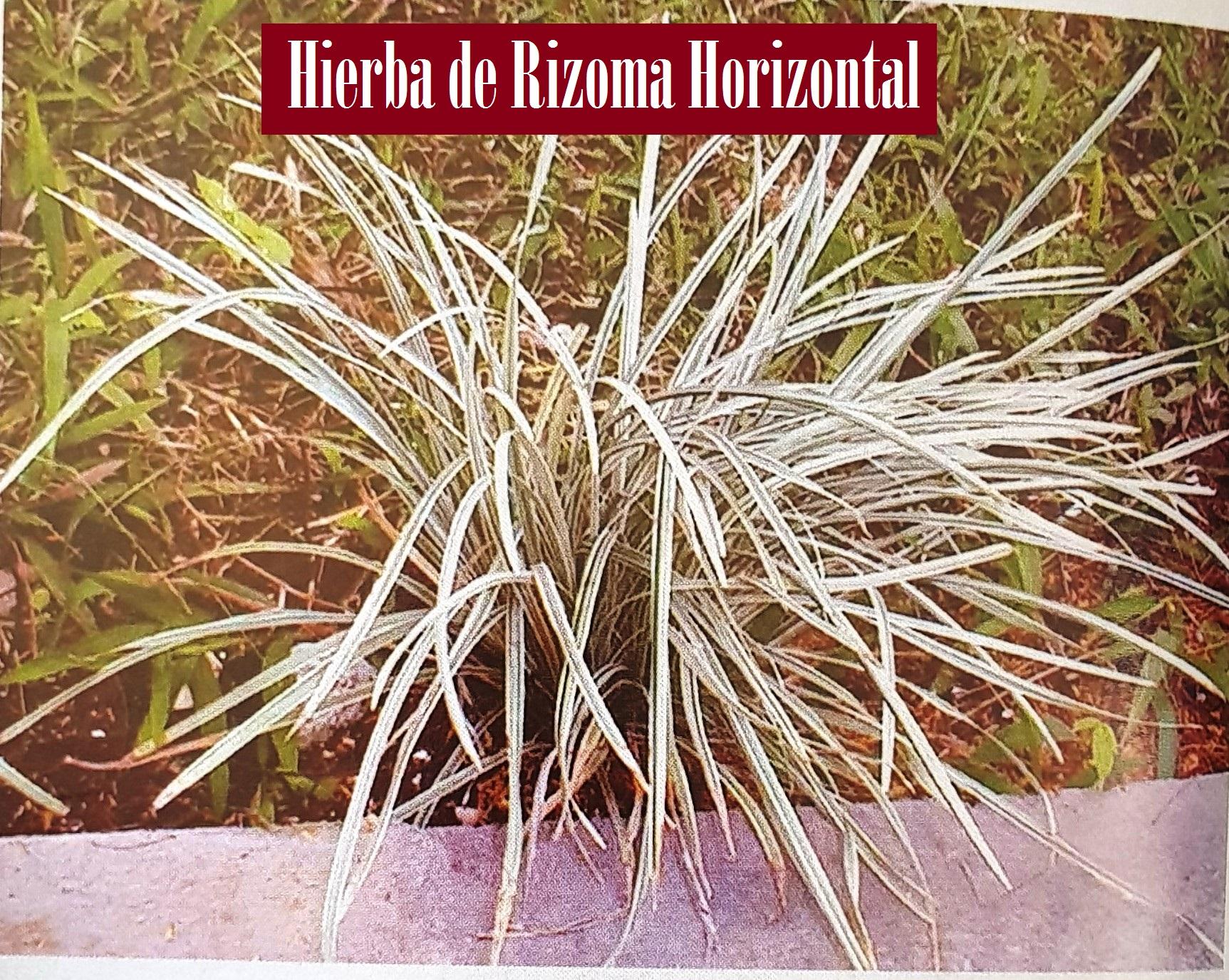 HIERBA DE RIZOMA HORIZONTAL