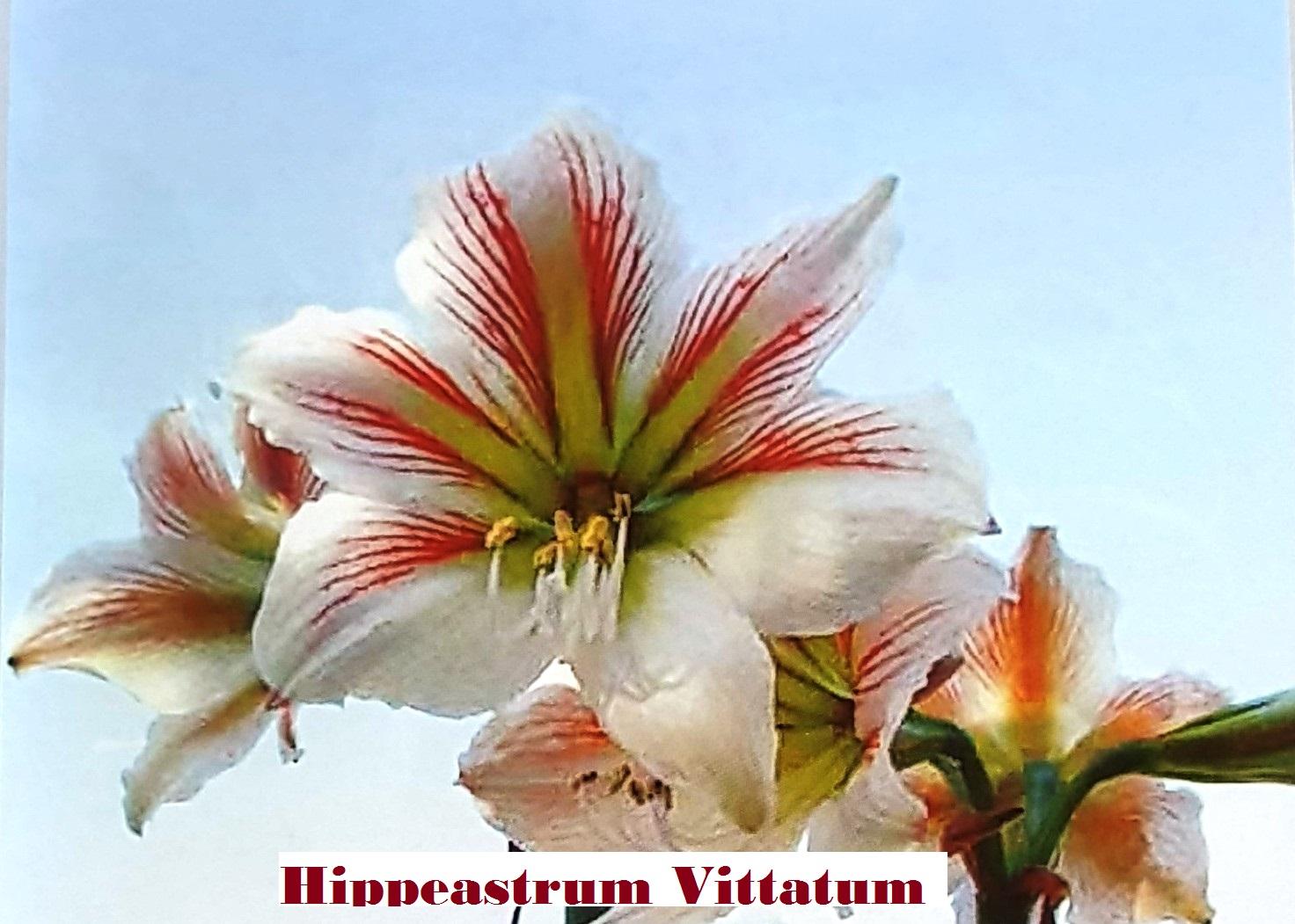 HIPPEASTRUM VITTATUM